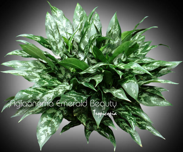 Tropicopia online house plant picture of aglaonema for Low care plants
