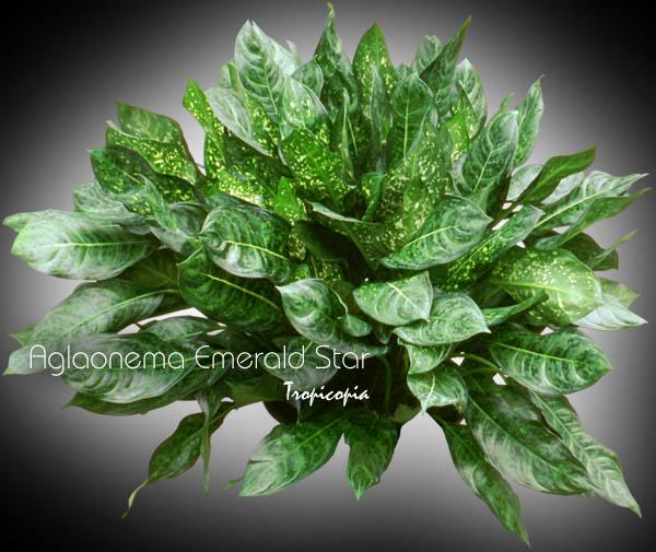Aglaonema Aglaonema Inside Plants Pinterest Tropicopia En