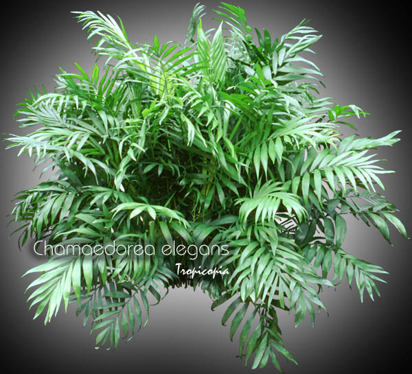 tropicopia online house plant picture of palm chamaedorea elegans bella palm neanthebella. Black Bedroom Furniture Sets. Home Design Ideas