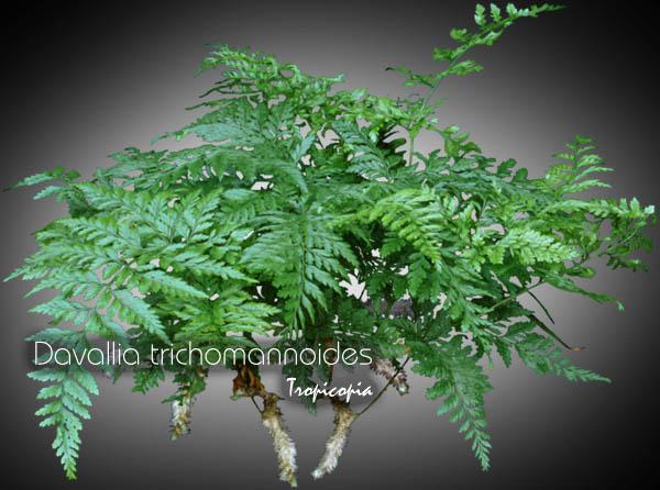 Tropicopia online - House plant picture of Fern - Davallia ...