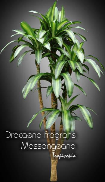 tropicopia online house plant picture of dracaena dracaena fragrans 39 massangeana. Black Bedroom Furniture Sets. Home Design Ideas
