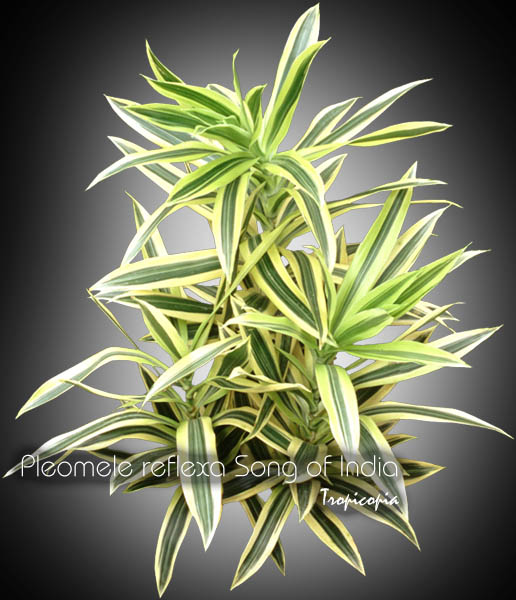 Dracaena Reflexa Song Of India Yellow Malaysian