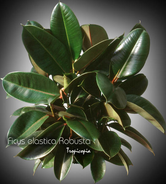 tropicopia online house plant picture of ficus ficus elastica 39 robusta 39 rubber plant. Black Bedroom Furniture Sets. Home Design Ideas