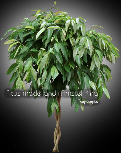 tropicopia online house plant picture of ficus ficus. Black Bedroom Furniture Sets. Home Design Ideas