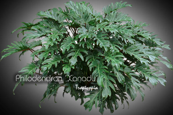 Tropicopia online - House plant picture of Philodendron