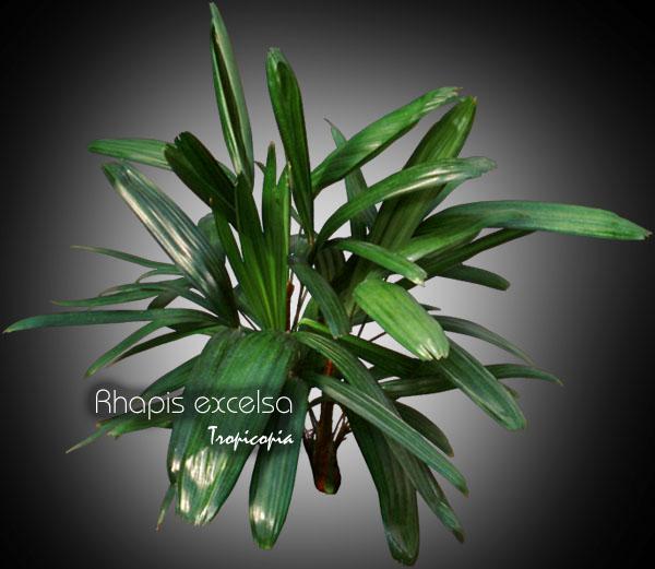 Tropicopia online house plant picture of palm rhapis excelsa