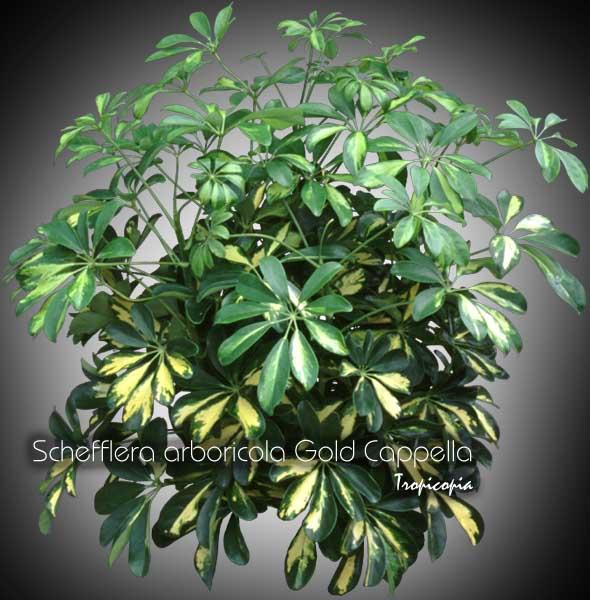 Tropicopia Online House Plant Picture Of Schefflera Schefflera Arboricola 39 Gold Cappela
