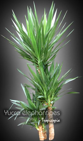 Tropicopia online - House plant picture of Dracaena ...