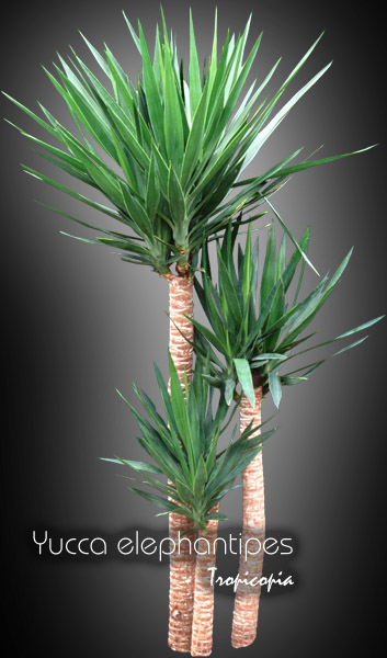 tropicopia online house plant picture of dracaena yucca elephantipes spineless yucca palm. Black Bedroom Furniture Sets. Home Design Ideas