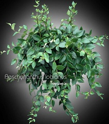 Hanging House Plant Identification on giant leaf plant identification, heart shaped leaf identification, flowering plant identification, big leaf plants identification, indoor cactus plants identification,