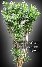 Dracaena Reflexa Song Of Jamaica Malaysian