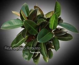 tropicopia online house plant care and maintenance of ficus elastica 39 robusta 39 ficus. Black Bedroom Furniture Sets. Home Design Ideas