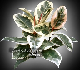 tropicopia online house plant care and maintenance of ficus elastica 39 tineke 39 ficus. Black Bedroom Furniture Sets. Home Design Ideas