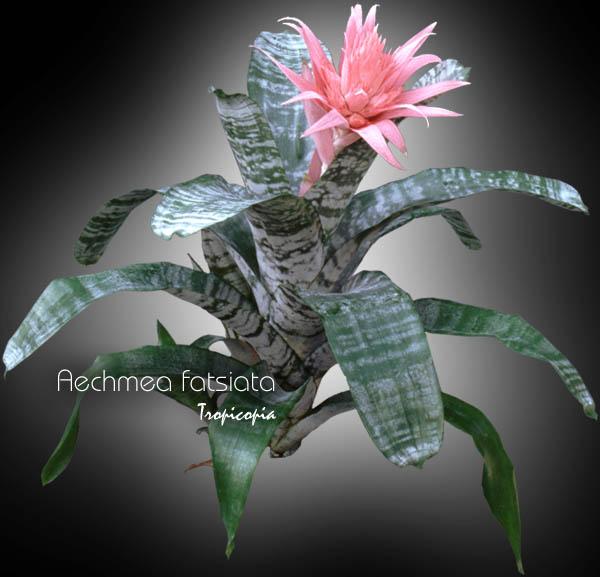 Tropicopia en ligne image brom liac e aechmea for Plantes tropicales d interieur