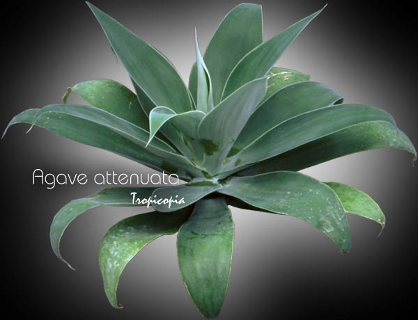 tropicopia en ligne image cactus plante grasse agave attenuata agave dragon dragon. Black Bedroom Furniture Sets. Home Design Ideas