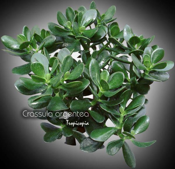 tropicopia en ligne image cactus plante grasse crassula argentea jade jade plant. Black Bedroom Furniture Sets. Home Design Ideas