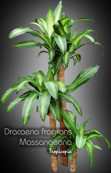 tropicopia en ligne image dracaena dracaena fragrans massangeana plante ma s. Black Bedroom Furniture Sets. Home Design Ideas