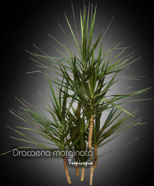Dracaena marginata  Plant Finder