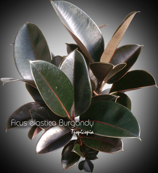 tropicopia en ligne image ficus ficus elastica burgandy plante caoutchouc rubber plant. Black Bedroom Furniture Sets. Home Design Ideas
