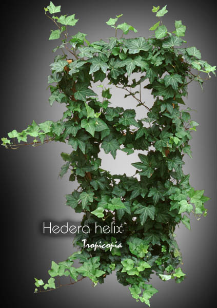 tropicopia en ligne image topiaire hedera helix lierre anglais english ivy. Black Bedroom Furniture Sets. Home Design Ideas