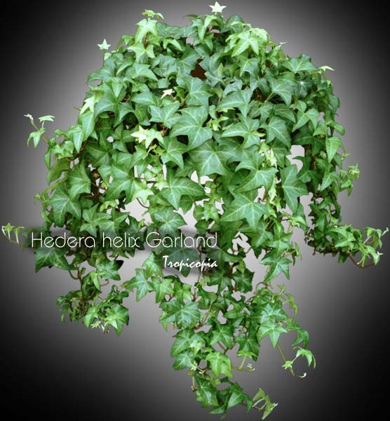 tropicopia en ligne image suspendue hedera helix garland lierre anglais english ivy. Black Bedroom Furniture Sets. Home Design Ideas