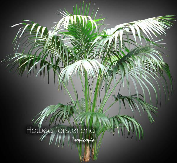 Tropicopia en ligne image palmier howea forsteriana for Plante kentia