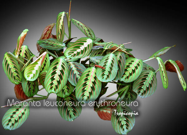 tropicopia en ligne image suspendue maranta leuconeura erythroneura plante religieuse. Black Bedroom Furniture Sets. Home Design Ideas