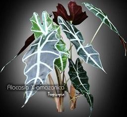 Tropicopia en ligne plante d 39 int rieur conseils soins for Alocasia d interieur