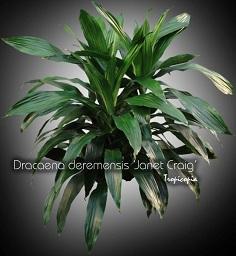 tropicopia en ligne plante d 39 int rieur conseils soins sur l 39 entretien de dracaena. Black Bedroom Furniture Sets. Home Design Ideas