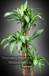 tropicopia en ligne plante d 39 int rieur conseils soins sur l 39 entretien de dracaena fragrans. Black Bedroom Furniture Sets. Home Design Ideas