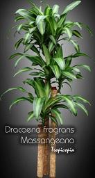 tropicopia en ligne plante d 39 int rieur conseils soins sur l 39 entretien de dracaena fragrans. Black Bedroom Furniture Sets. Home Design Ideas