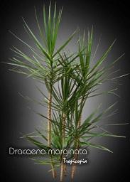 Tropicopia en ligne plante d 39 int rieur conseils soins sur l 39 entretien de dracaena - Entretien dracaena marginata ...
