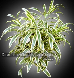 tropicopia en ligne galerie d 39 images de plantes d 39 int rieur de dracaena epipremnum plantes. Black Bedroom Furniture Sets. Home Design Ideas