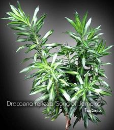 tropicopia en ligne plante d 39 int rieur conseils soins sur l 39 entretien de dracaena reflexa. Black Bedroom Furniture Sets. Home Design Ideas