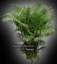 tropicopia en ligne plante d 39 int rieur conseils soins sur l 39 entretien de dypsis lutescens. Black Bedroom Furniture Sets. Home Design Ideas