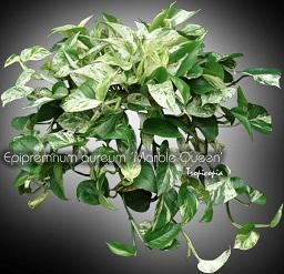 tropicopia en ligne plante d 39 int rieur conseils soins sur l 39 entretien de epipremnum aureum. Black Bedroom Furniture Sets. Home Design Ideas