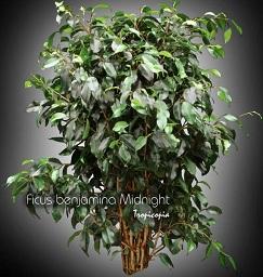 tropicopia en ligne plante d 39 int rieur conseils soins sur l 39 entretien de ficus benjamina. Black Bedroom Furniture Sets. Home Design Ideas