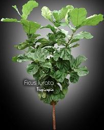tropicopia en ligne plante d 39 int rieur conseils soins sur l 39 entretien de ficus lyrata. Black Bedroom Furniture Sets. Home Design Ideas