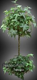 tropicopia en ligne plante d 39 int rieur conseils soins sur l 39 entretien de hedera helix. Black Bedroom Furniture Sets. Home Design Ideas