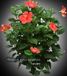 tropicopia en ligne plante d 39 int rieur conseils soins sur l 39 entretien de hibiscus rosa. Black Bedroom Furniture Sets. Home Design Ideas