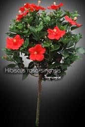 tropicopia en ligne plante d 39 int rieur conseils soins. Black Bedroom Furniture Sets. Home Design Ideas