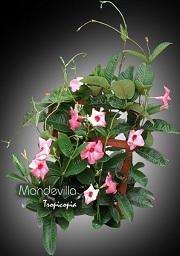 tropicopia en ligne plante d 39 int rieur conseils soins sur l 39 entretien de mandevilla. Black Bedroom Furniture Sets. Home Design Ideas