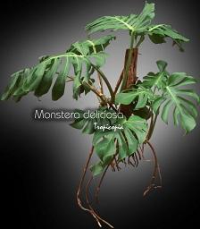 tropicopia en ligne plante d 39 int rieur conseils soins sur l 39 entretien de monstera. Black Bedroom Furniture Sets. Home Design Ideas