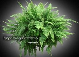 Tropicopia en ligne plante d 39 int rieur conseils soins - Fougere de boston depolluante ...