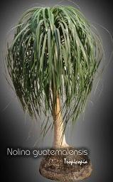 Tropicopia en ligne plante d 39 int rieur conseils soins sur l 39 entretien de nolina - Plante verte appelee pied d elephant ...