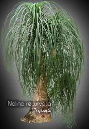 Tropicopia en ligne plante d 39 int rieur conseils soins sur l 39 entretien de nolina recurvata - Plante verte appelee pied d elephant ...