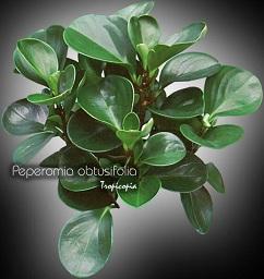 tropicopia en ligne plante d 39 int rieur conseils soins sur l 39 entretien de peperomia. Black Bedroom Furniture Sets. Home Design Ideas