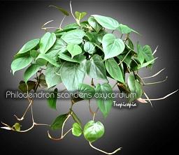 tropicopia en ligne plante d 39 int rieur conseils soins sur l 39 entretien de philodendron. Black Bedroom Furniture Sets. Home Design Ideas