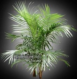 ... entretien de: Ravenea rivularis (Palmier) - - Palmier majestique
