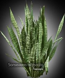 tropicopia en ligne plante d 39 int rieur conseils soins sur l 39 entretien de sansevieria. Black Bedroom Furniture Sets. Home Design Ideas